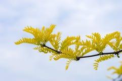 Branch of gleditsia triacanthos sunburst Royalty Free Stock Image