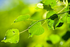 Branch with gnawed leaves Stock Photography