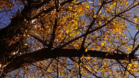 Branch with gold leaf Autumn Forest with wind. Rotation. stock video footage