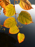 Branch with golden leaves, against dark water Stock Photos