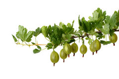 Branch of gooseberries Stock Images