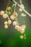 Branch of gooseberries Royalty Free Stock Image