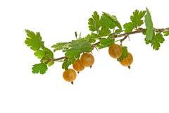 Branch of gooseberries  on white. Branch of ripe gooseberries  on white background Stock Image