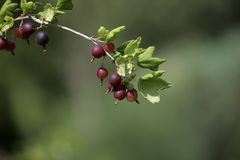 Branch of gooseberry Stock Images