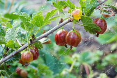 Branch of gooseberry in the dew Stock Photo