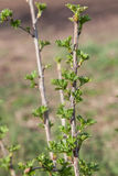 Branch of gooseberry in early spring Stock Photo