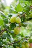 Branch of gooseberry with green berries and leaves in the garden Royalty Free Stock Image