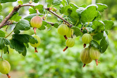 Branch of gooseberry with green berries and leaves in the garden Royalty Free Stock Images
