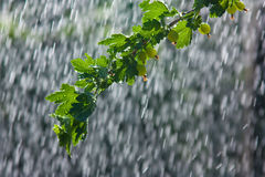 The branch of gooseberry in the rain Royalty Free Stock Photo