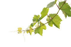 Branch of grape. Vine on white background Royalty Free Stock Image