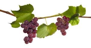 Branch of grape Stock Photo