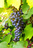 Branch of grape cluster Royalty Free Stock Photos