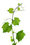 Branch with grape leaves. Isolated on white background Royalty Free Stock Photo