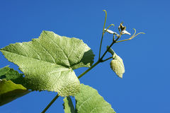 Branch with grape leaves. On blue sky Royalty Free Stock Photos