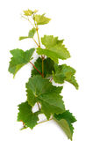 Branch with grape leaves Stock Photos
