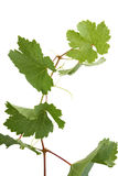 Branch with grape leaves. Isolated Royalty Free Stock Image