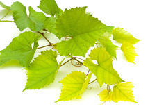 Branch of grape vine Royalty Free Stock Photo