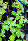 Branch of grape vine Stock Photos