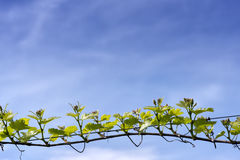 Branch of grape vine Royalty Free Stock Image