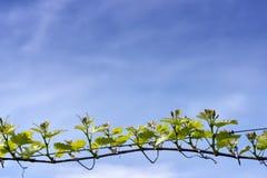 Branch of grape vine Royalty Free Stock Image