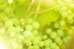 Branch of grape vine Stock Photography