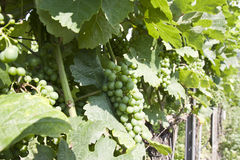 Branch grape vine with grapes cluster Stock Photography