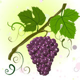 Branch of grapes Stock Images
