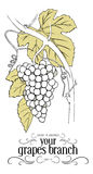 Branch of grapes. In vintage style vector illustration