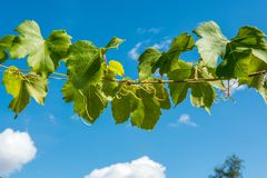 A branch of grapes on a background of blue sky stock images