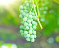 Branch of grapes fruit. Branch of green grapes fruit royalty free stock images