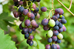 Branch of grapes in the garden Stock Images