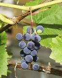 The branch of grapes growing in the garden royalty free stock photos