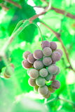 Branch of grapes growing in nature Royalty Free Stock Image