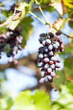 Branch of grapes Stock Photography