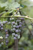 Branch of grapes in late summer Stock Photo