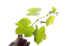 Branch of a grapes with leaves in a hand on a white background Royalty Free Stock Images