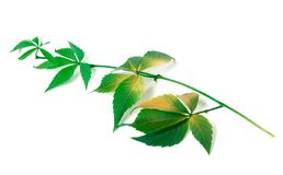 Branch of grapes leaves (Parthenocissus quinquefolia foliage) Royalty Free Stock Photos
