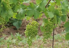 Branch with grapes vine. South Moravia royalty free stock images