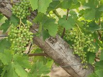 Branch with grapes vine. South Moravia stock photos