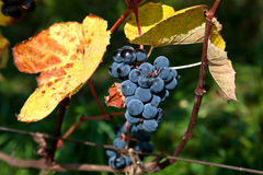 Branch of grapes on vine in vineyard Royalty Free Stock Photography