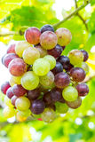 Branch of grapes on vine in vineyard. Royalty Free Stock Photos