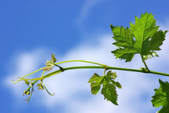 Branch of grapevine. Royalty Free Stock Photography