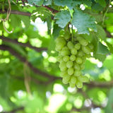 Branch of gree grapes Stock Photography