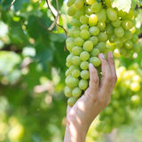 Branch of gree grapes Royalty Free Stock Photography