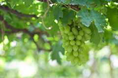 Branch of gree grapes Royalty Free Stock Photos