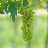 Branch of gree grapes Stock Photos
