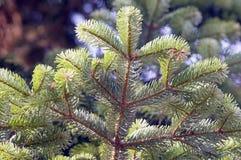 Branch of Greek fir Royalty Free Stock Photos