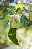 Branch with green apple. Ripe apples against blue sky royalty free stock photography