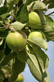 Branch of green apple on tree Stock Images