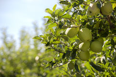 Branch with Green Apples in an Orchard Stock Image